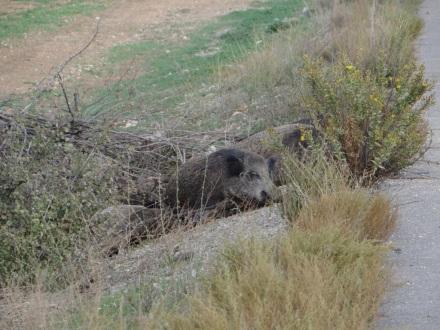 Tote (oder nur schlafende?) Wildschweine direkt am Straßenrand