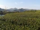 Eine Teeplantage neben dem Kugelschreiberdorf.